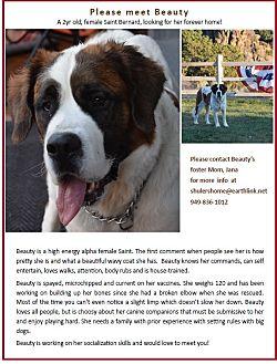 St. Bernard Dog for adoption in Sparks, Nevada - BEAUTY