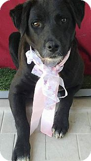 Labrador Retriever Mix Dog for adoption in pasadena, California - JAZMINE