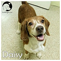 Adopt A Pet :: Daisy - Pittsburgh, PA