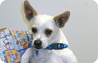 Chihuahua Mix Dog for adoption in Wildomar, California - Jed