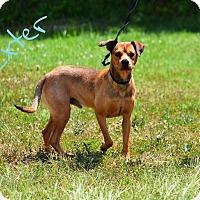 Adopt A Pet :: Dexter - Lebanon, MO