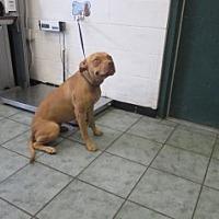 Adopt A Pet :: Sarahi - Weatherford, TX