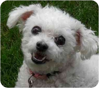 Bichon Frise Dog for adoption in Long Beach, New York - Katie