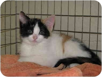 Domestic Shorthair Kitten for adoption in McDonough, Georgia - Amber