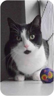 Domestic Shorthair Cat for adoption in AUSTIN, Texas - Emma
