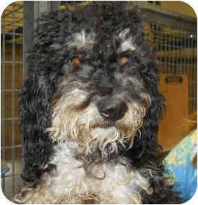 Poodle (Miniature) Puppy for adoption in San Clemente, California - SIMON