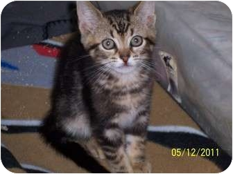Bengal Kitten for adoption in Philadelphia, Pennsylvania - Diego (10wks)