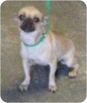 Pug Mix Dog for adoption in Belvidere, Illinois - Gretal