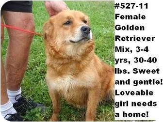 Golden Retriever Mix Dog for adoption in Zanesville, Ohio - # 527-11 @ Animal Shelter