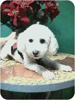 Bichon Frise Dog for adoption in Goleta, California - Shadow