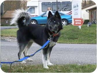 Siberian Husky Dog for adoption in Zanesville, Ohio - Bear