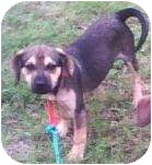 Beagle Mix Puppy for adoption in Brownsville, Texas - Troy