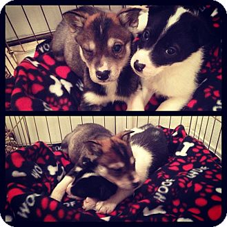 Husky Mix Puppy for adoption in Wasilla, Alaska - Titan and Timber
