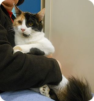 Domestic Mediumhair Cat for adoption in Reston, Virginia - Karen