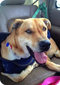 Shar Pei/Great Dane Mix Dog for adoption in Apple Valley, California - Parker