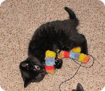Domestic Shorthair Kitten for adoption in Bentonville, Arkansas - Cubby