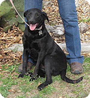 Labrador Retriever Mix Puppy for adoption in Oakland, Arkansas - Raven