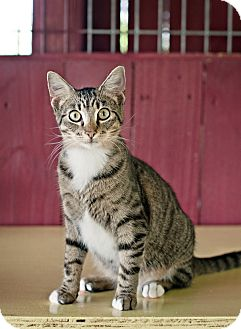Domestic Shorthair Kitten for adoption in Carencro, Louisiana - Marsha