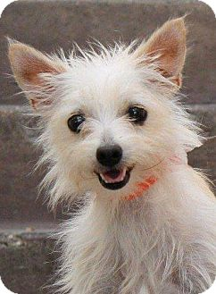 Cairn Terrier/Pomeranian Mix Dog for adoption in La Habra Heights, California - Betsy