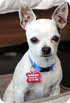 Chihuahua Dog for adoption in Encino, California - Tiny Tim - 4 lbs