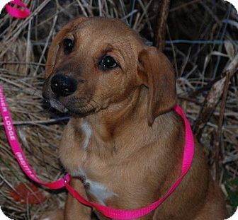 Retriever (Unknown Type)/Labrador Retriever Mix Puppy for adoption in Derry, New Hampshire - Toffee