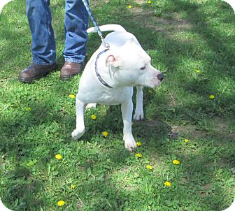 American Staffordshire Terrier Mix Dog for adoption in Olney, Illinois - Cooper