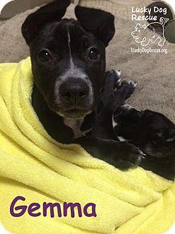 Cattle Dog/Border Collie Mix Puppy for adoption in Pleasanton, California - Gemma