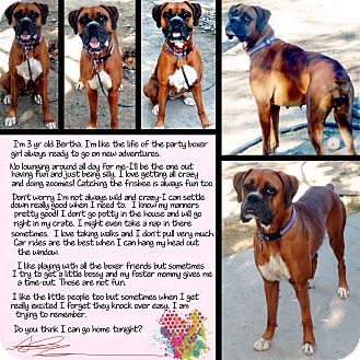 Boxer Dog for adoption in Boise, Idaho - Bertha