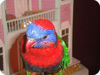 Lorikeet for adoption in Sylmar, California - Gabby