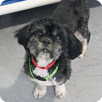 Shih Tzu Dog for adoption in Atlanta, Georgia - Midnight