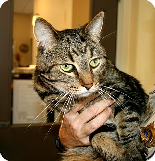 Domestic Shorthair Cat for adoption in Yucca Valley, California - Peanut Randall III