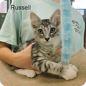 Domestic Mediumhair Kitten for adoption in Slidell, Louisiana - Russell
