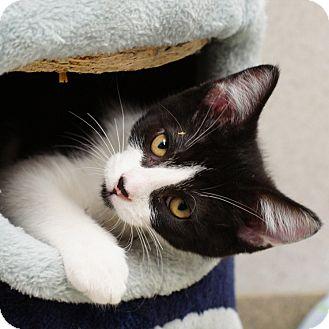 Domestic Shorthair Kitten for adoption in Naperville, Illinois - Basil