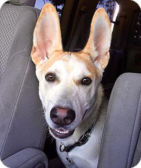 Husky/German Shepherd Dog Mix Puppy for adoption in Binbrook, Ontario - Charlie