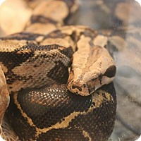 Snake for adoption in Middle Island, New York - Mustachio