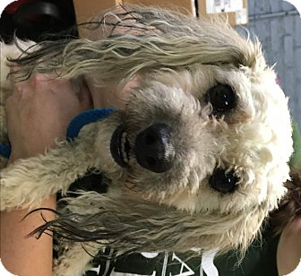 Poodle (Miniature)/Shih Tzu Mix Dog for adoption in Oak Park, Illinois - Waldo