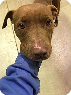 Labrador Retriever/Staffordshire Bull Terrier Mix Dog for adoption in Heber City, Utah - Flower