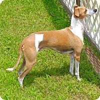 Adopt A Pet :: Rossi in Houston - Argyle, TX
