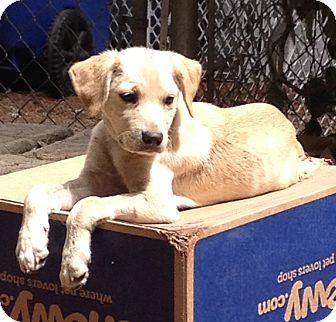 Setter (Unknown Type) Mix Puppy for adoption in Gig Harbor, Washington - Sprite - Adoption Pending