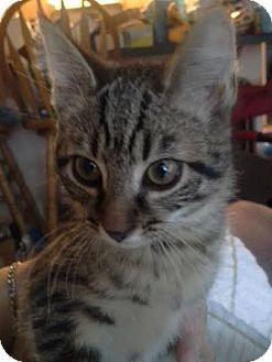 Domestic Shorthair Kitten for adoption in Columbus, Ohio - Lexi