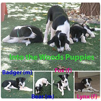 Border Collie Mix Puppy for adoption in Corning, California - Into The Woods Pups