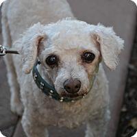 Adopt A Pet :: Shanti - Phoenix, AZ