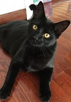 Domestic Shorthair Cat for adoption in Rochester, Michigan - Poprocks