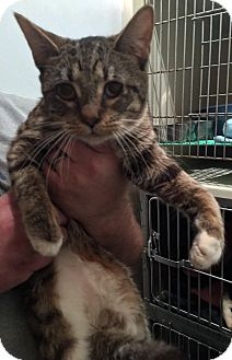 Domestic Shorthair Cat for adoption in Loogootee, Indiana - Katy