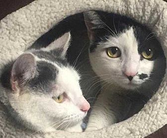 Domestic Shorthair Cat for adoption in New City, New York - Nina And Belle-Bonded Sisters