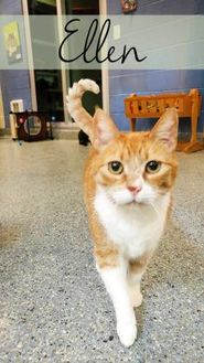 Domestic Shorthair/Domestic Shorthair Mix Cat for adoption in Charleston, South Carolina - Ellen