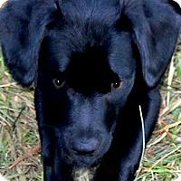 Adopt A Pet :: CASSIE(ADORABLE LAB PUPPY!! - Wakefield, RI