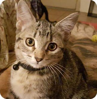 Domestic Shorthair Kitten for adoption in Glendale, Arizona - Scully