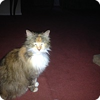 Calico Cat for adoption in Sterling Hgts, Michigan - Jolean aka Lucy (prefers women