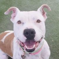 Adopt A Pet :: *RASHTA - Las Vegas, NV